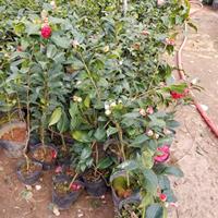 茶花工程苗 茶花盆栽 山茶花树 耐冬茶花庭院种植苗
