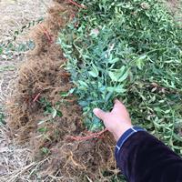 扶芳藤小苗 小叶扶芳藤护坡绿化 爬行卫矛护坡植物