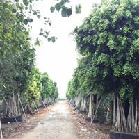 大型苗場政府征收,不計成本處理以下品種,超大規格秋楓(重陽木