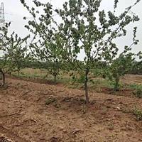 山西杏树基地_秋季大量出售杏树_10-18公分杏树6000棵