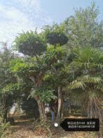 供應異形樸樹