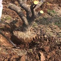 杏树桩·杏树桩价格·10公分15公分杏树桩产地批发价钱