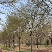 浙江榉树/嵊州榉树/榉树供应/榉树报价