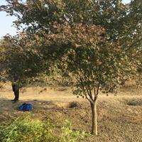 基地直销鸡爪槭3-15公分