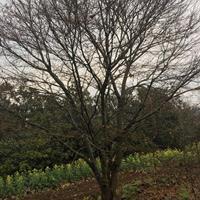 供20-22公分雞爪槭