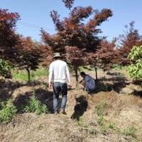 安徽常年供应精品红枫   美国红枫  鸡爪槭