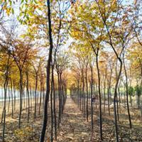 山东榉树,富有文化内涵,适合校园绿化