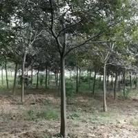 常年供應精品樸樹,10-15公分樸樹  叢生樸樹