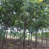 欒樹價格5公分6公分10公分欒樹報價價格低