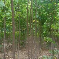 40-50公分高度欒樹小苗價格