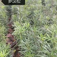 江西九江供應大量羅漢松 無中介