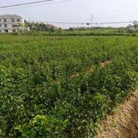 江西九江供应大量朴树小苗