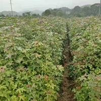江西九江供应大量枫香小苗