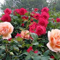 月季花苗 丰花月季 大花月季 品种月季 红帽月季