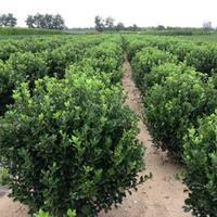 綠化苗大葉黃楊球 精品大葉黃楊球  大葉黃楊球圖片