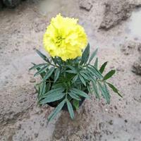 全国水生植物草花基地万寿菊,矮牵牛,四季海棠