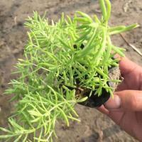 基地直销供应二月兰,波斯菊,大花金鸡菊,紫花地丁