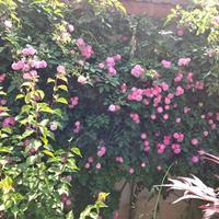 蔷薇 高50-100公分蔷薇花苗价格0.45元藤本蔓延或攀援