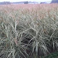 全國*低價花葉芒,十幾畝,全國低價,水生植物基地直銷