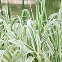 水生植物马蹄莲水仙鱼腥草芡实碗莲再力花苦草梭鱼草花叶芦竹