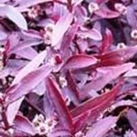 低价荷花、睡莲、红莲子草、芡实、蜘蛛兰、香菇草、金钱水葱