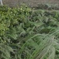 批發草花植物 細葉芒 花葉芒 斑葉芒 細葉莖芒 等草本植物