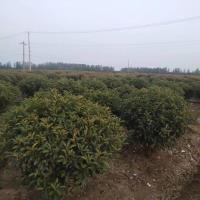 精品红叶石楠球价格1米8至2米红叶石楠球价格是多少