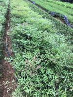 沭阳南天竹价格,30公分40公分50公分南天竹价格比较