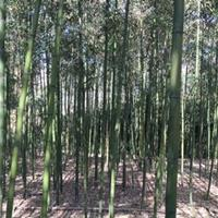 早竹、红竹、淡竹、刚竹、紫竹、金镶玉竹