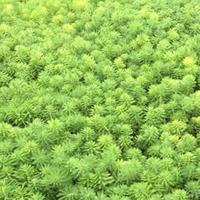 苦草、聚草、菹草、黑藻、狐尾藻、金魚藻
