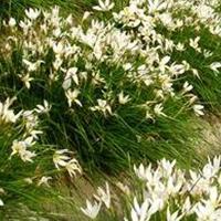 大量草花水生植物射干、金边麦冬、葱兰、兰花三七、大花萱草