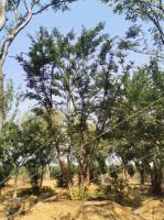 供應各種規格叢生樸樹