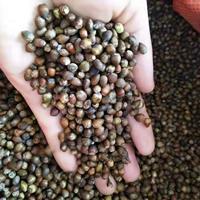 红豆杉种子 南方红豆杉种子价格 沙藏红豆杉种子价格