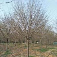 10公分榉树/12公分榉树/15公分榉树/16公分榉树