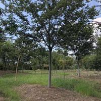 櫸樹  紅櫸樹圖片_紅櫸樹綠化苗木苗圃基地