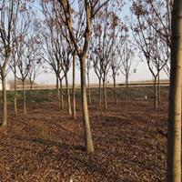 黃山欒基地 低價供應各種規格黃山欒樹 基地直銷