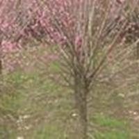 供应绿化苗木、红梅、花梅、碧桃、花桃、等规格齐全