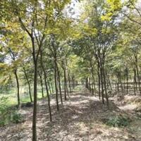 江西九江供应大量优质榉树