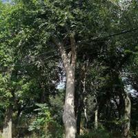 批發樸樹 直銷樸樹.優質移栽樸樹.精品樹形優美樸樹自然造型
