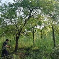 苦楝_楝棗樹綠化苗木