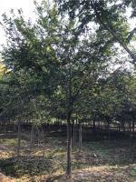 供應12-20公分樸樹   浙江長興樸樹價格