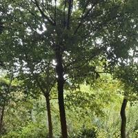 江西九江供应各种规格朴树