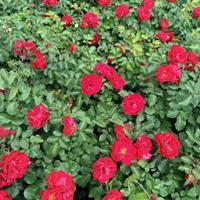 红帽月季、丰花月季、龙柏、卫矛、棣棠、连翘、迎春、