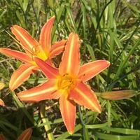 佛甲草、金娃娃萱草、紅花繡線球、大花萱草、鳶尾、蔥蘭、白三葉