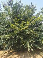 上千棵拼栽叢生樸樹供應