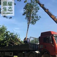 黄金树产地在哪里/哪里便宜/江苏景曜生态基地直销批发价格图片