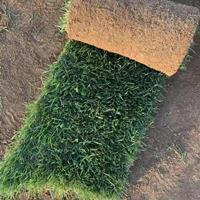直销马尼拉草坪,马尼拉草皮,草坪基地