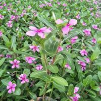 长春花夏季花卉盆栽小苗供应