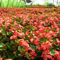 應四季海棠 紅葉四季海棠 圖片