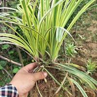 沿阶草、中华结缕草、金边麦冬草、百慕大